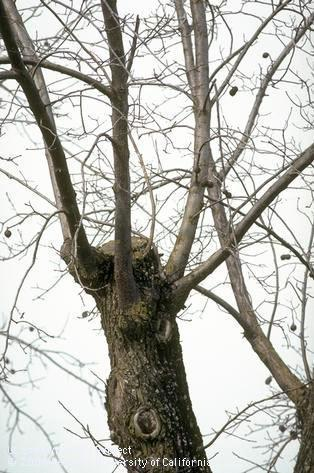 tree topping makes for weak branches, vulnerability to pests and sunburn